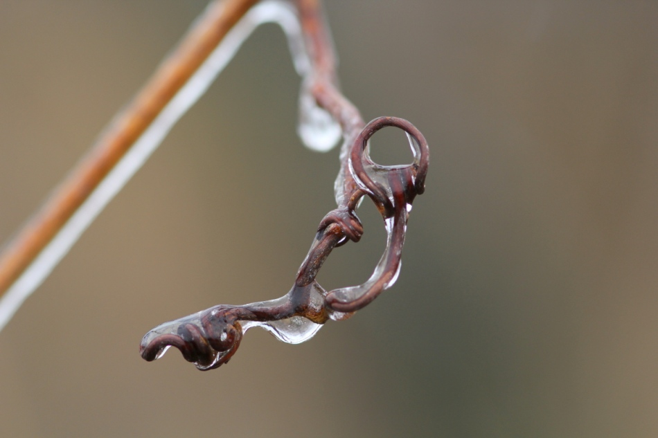 Ice covered grapevine tendril