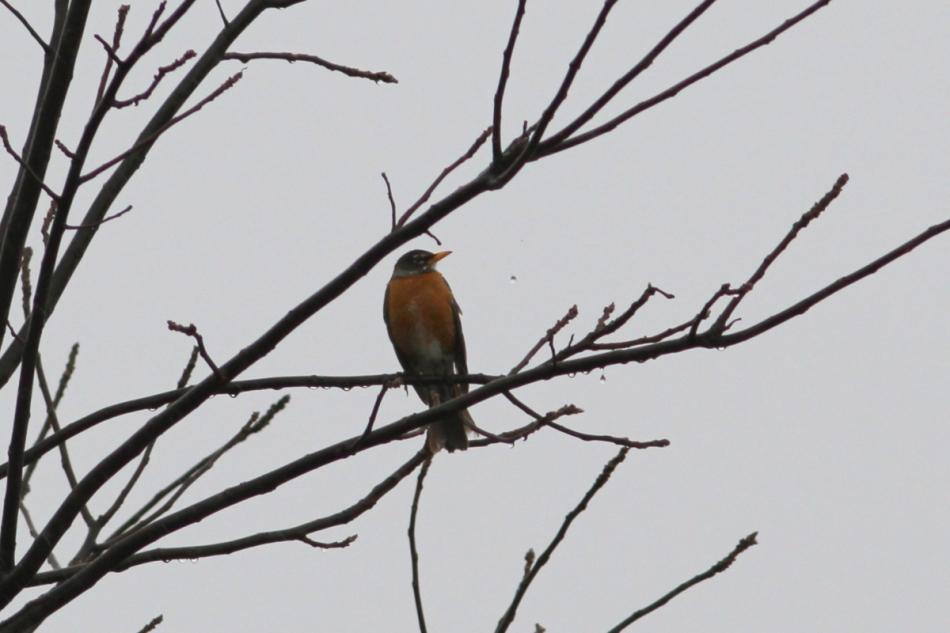 American robin and waterdrop