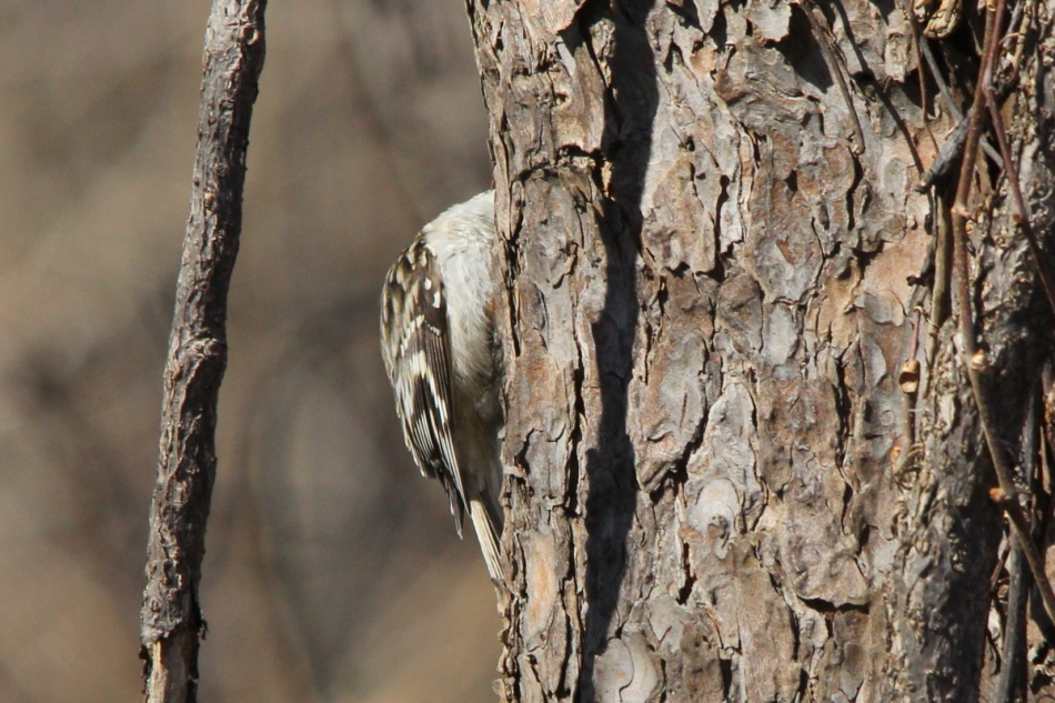 Headless brown creeper
