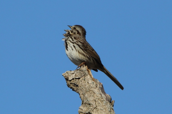 Male song sparrow belting out a tune