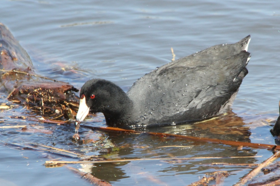 American coot with snail