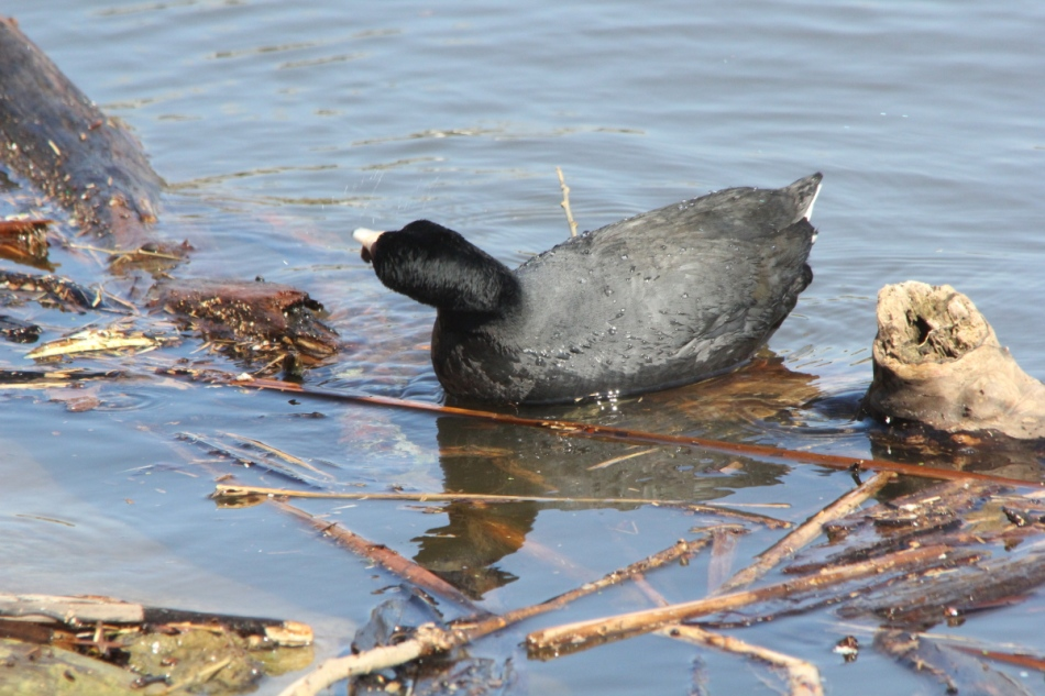 American coot with snail stuck to its beak