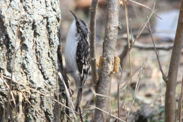Brown creeper at 700 mm