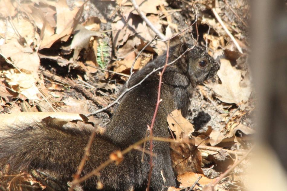 Black morph of a grey squirrel