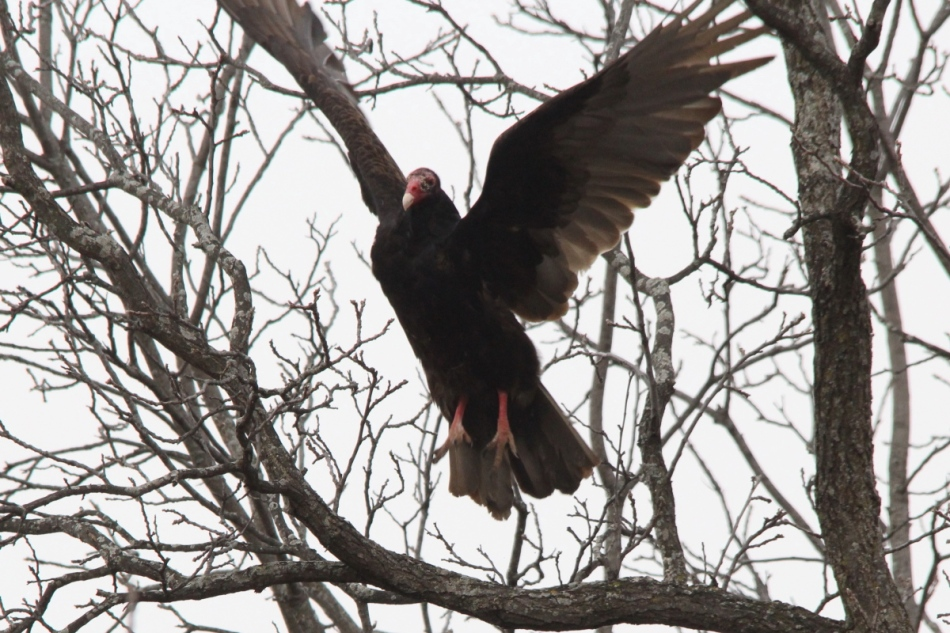 Turkey vulture taking flight