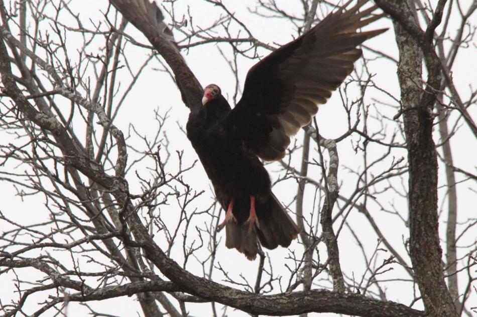 Turkey vulture taking flight