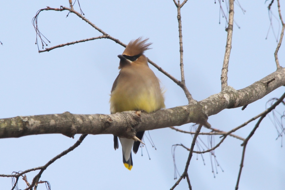 Cedar waxwing having a bad hair day