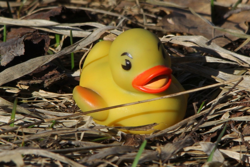 Rubber ducky on the nest