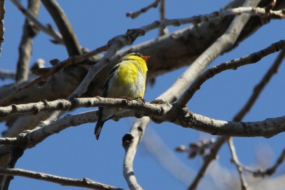American goldfinch singing