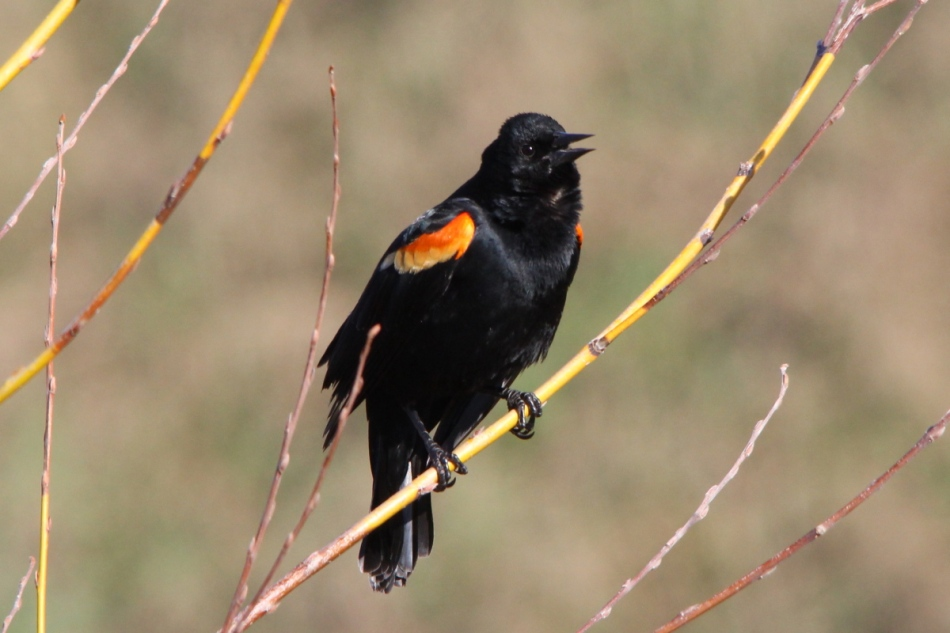 Male red-winged blackbird singing