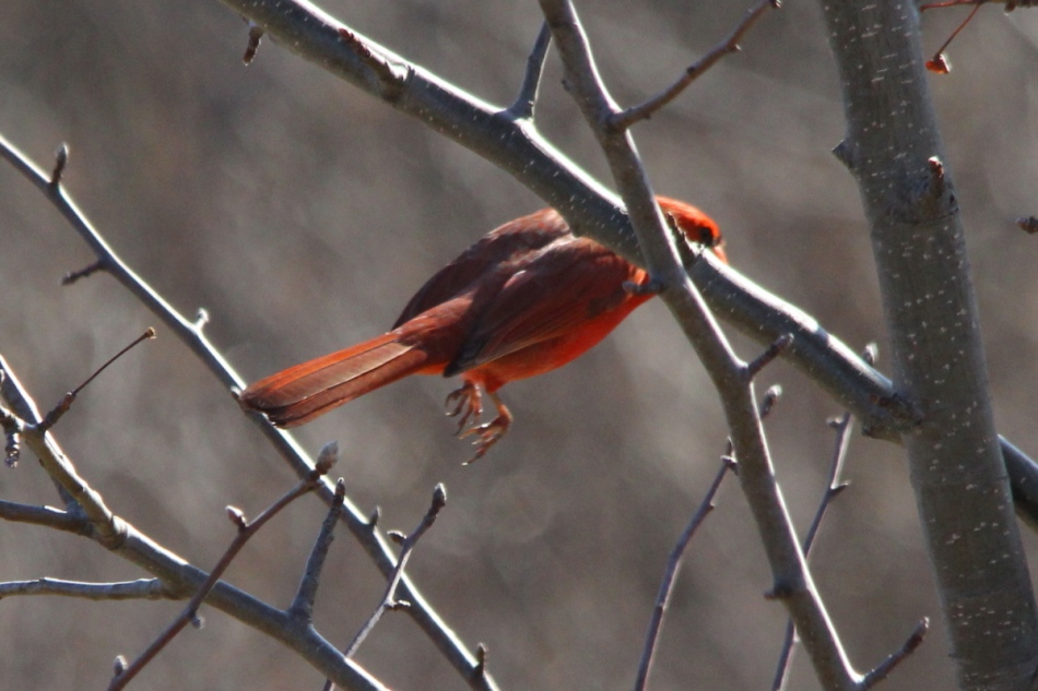 Male northern cardinal taking flight