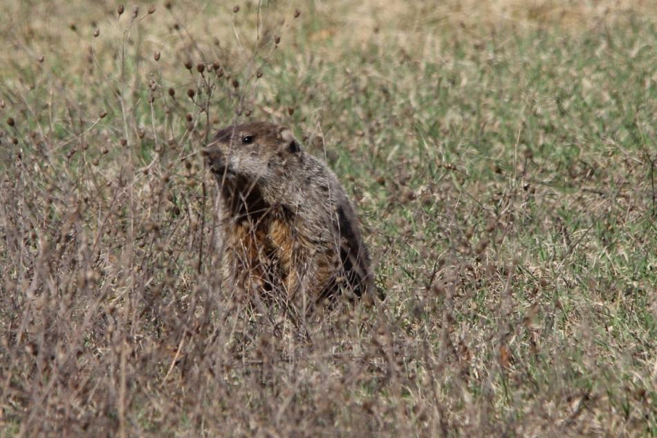 Woodchuck or groundhog
