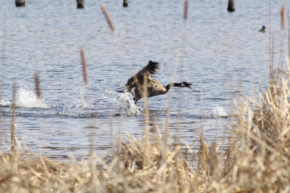 Canada goose on the run