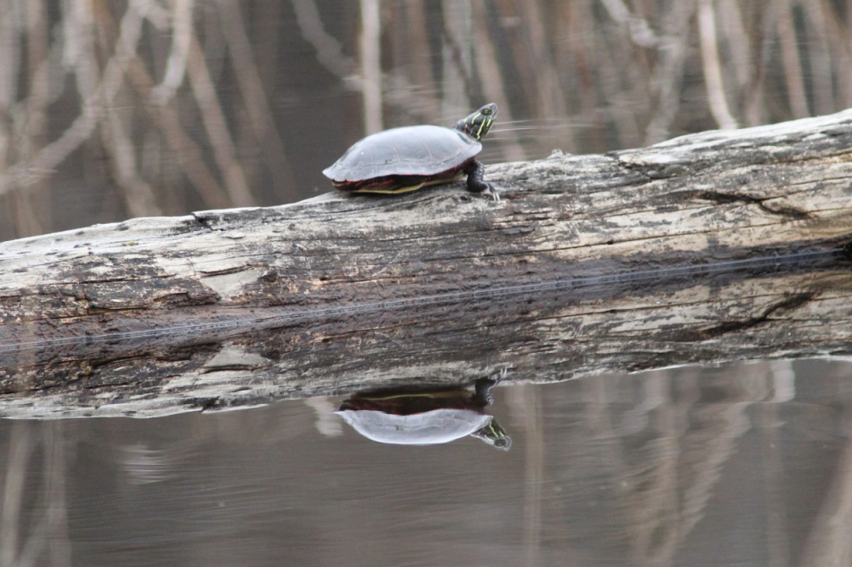 Painted turtle and reflection