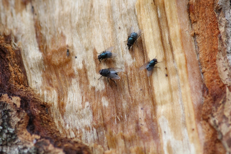 Flies feeding on sugar maple sap