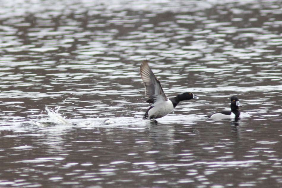 Ring-necked ducks in the rain