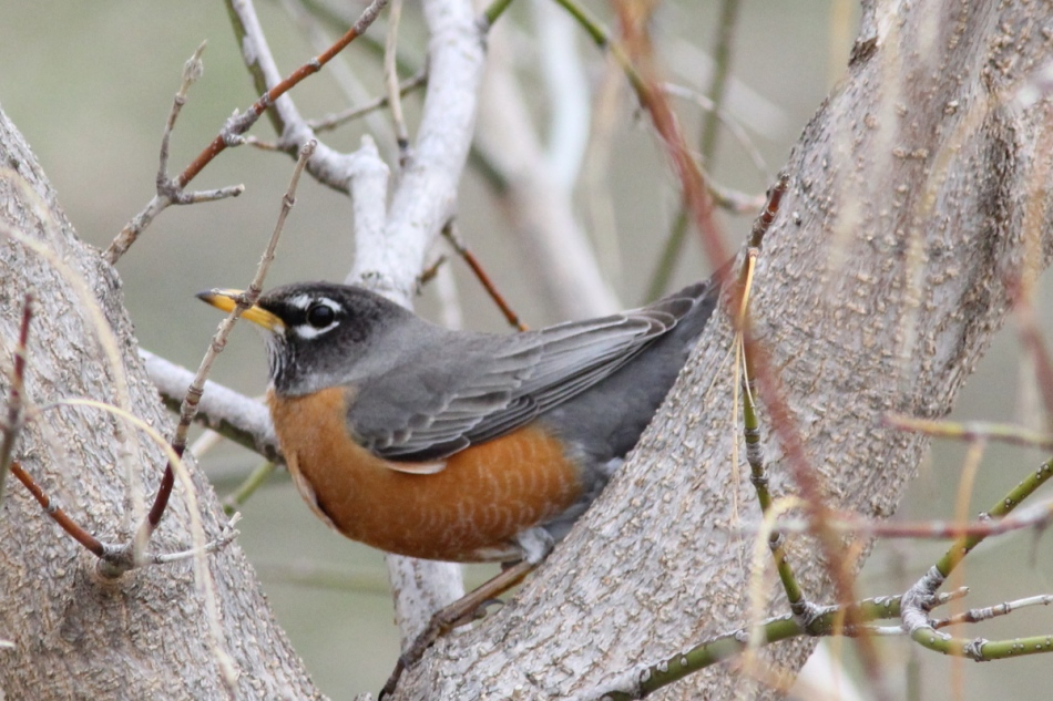 American robin doing weird things