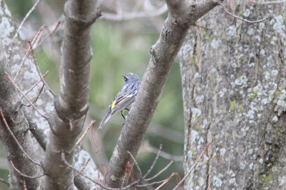 Yellow-rumped warbler, rear view