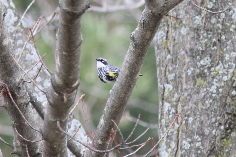 Yellow-rumped warbler, front view