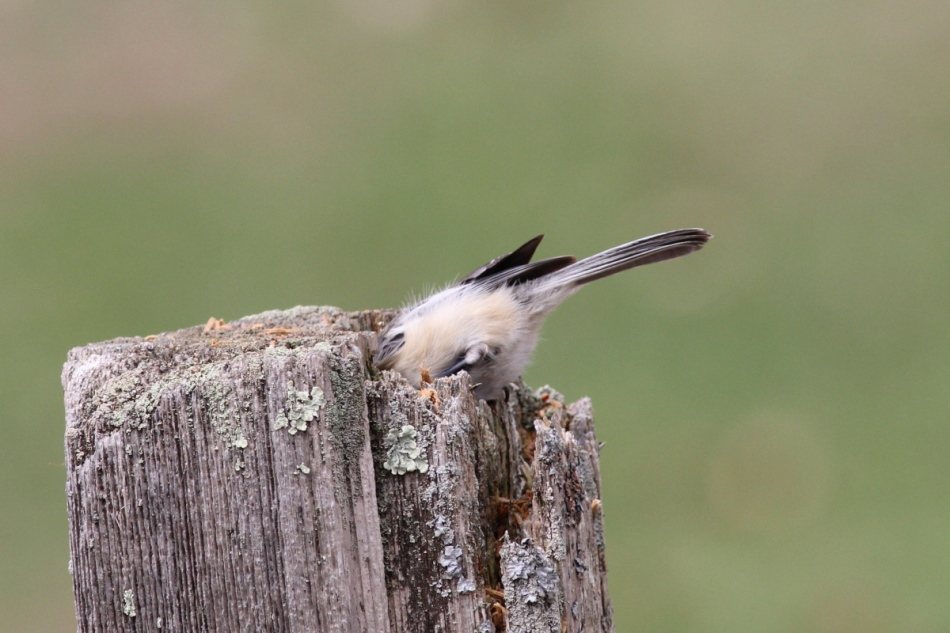 Black-capped chickadee excavating a nesting place