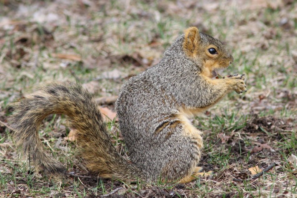 Fred the friendly fox squirrel