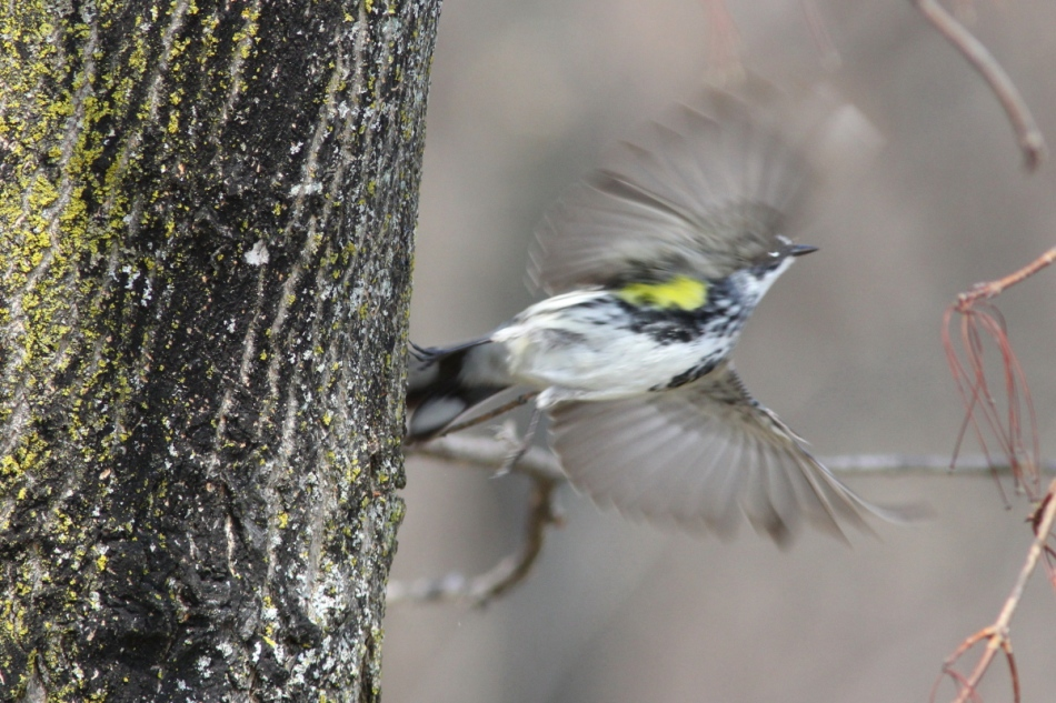 Yellow-rumped warbler taking flight