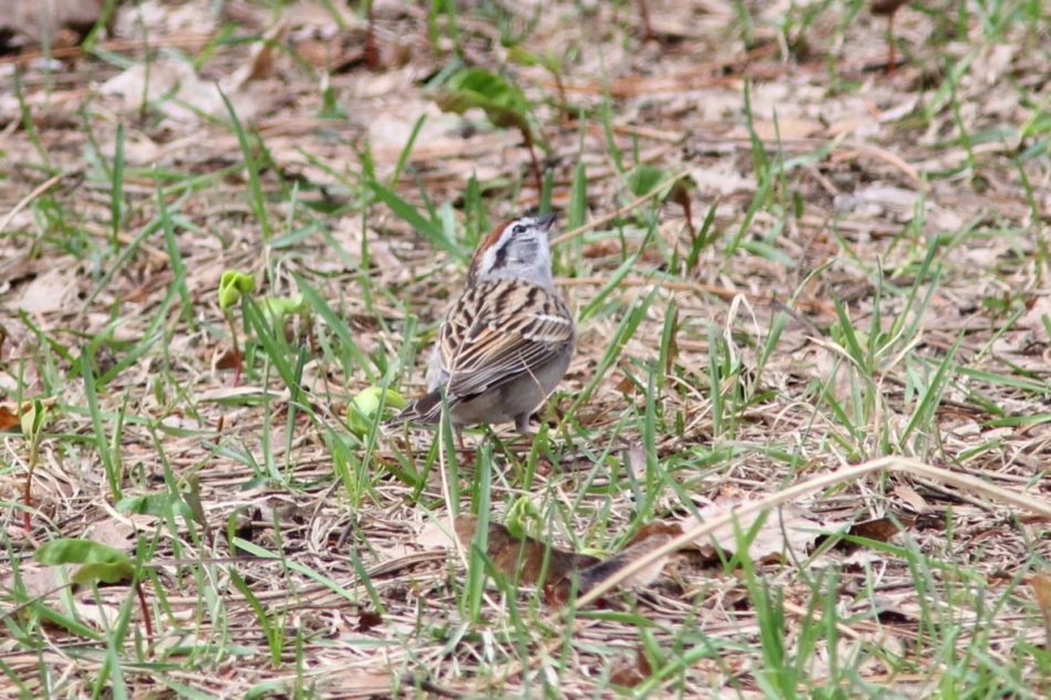 Chipping sparrow looking for its mate