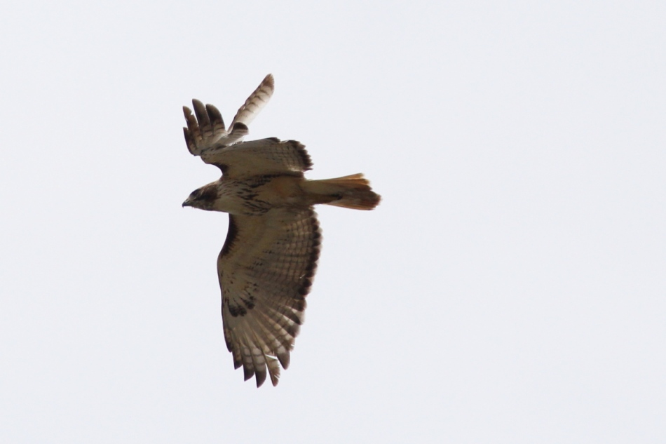Male red-tailed hawk in flight