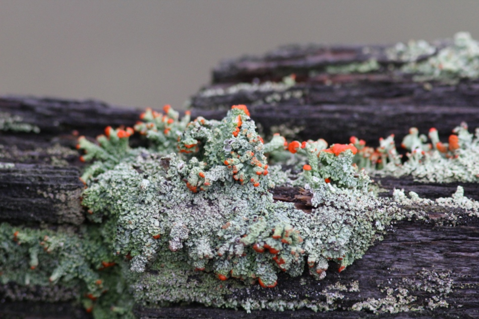 British soldier lichens as shot