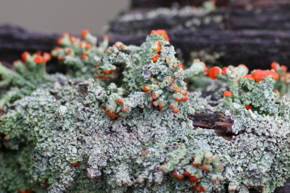 British soldier lichens cropped