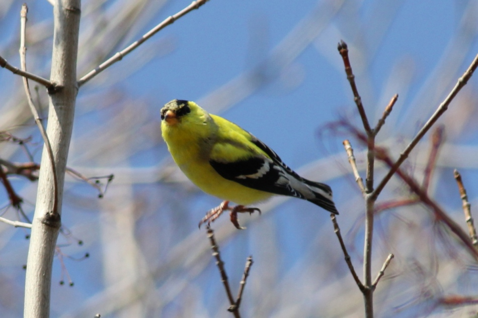 American goldfinch leaping into the air
