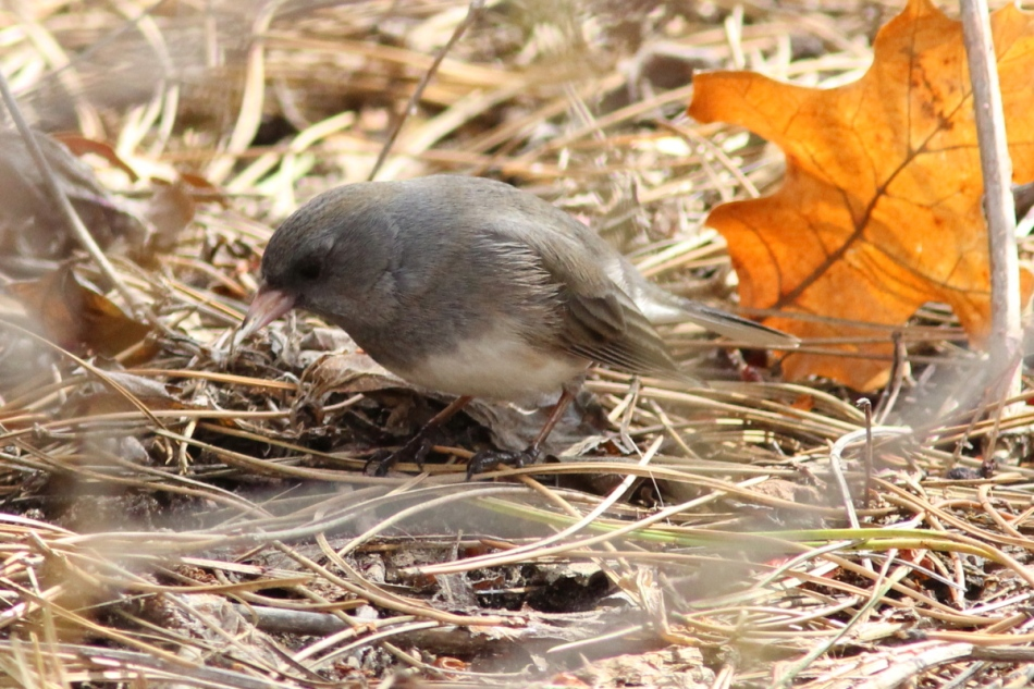 Dark-eyed junco with lunch