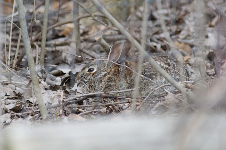 Cottontail rabbit hiding