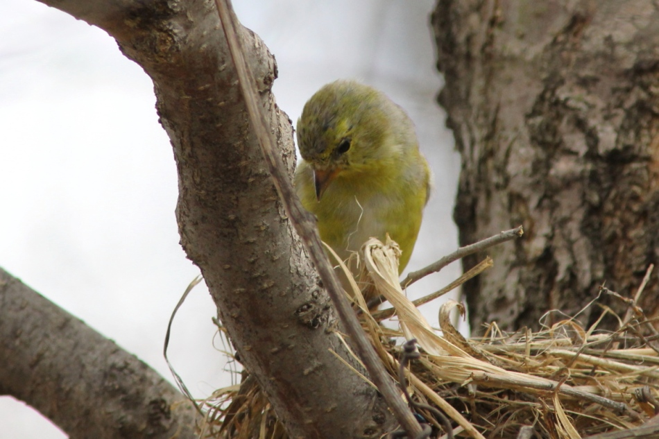 Female American goldfinch checking out a robin's nest