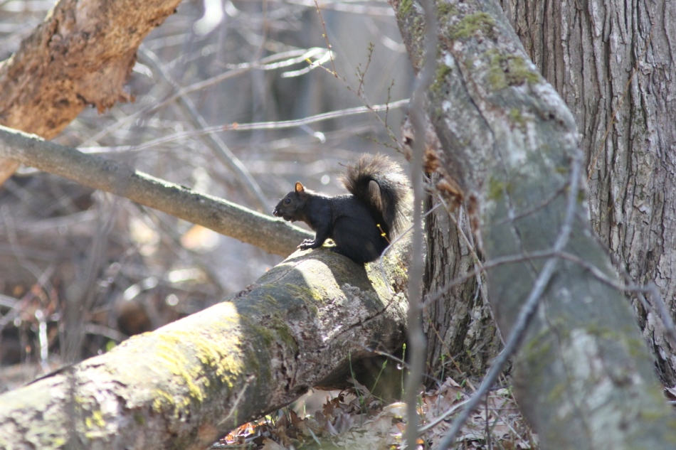 Black morph of the grey squirrel