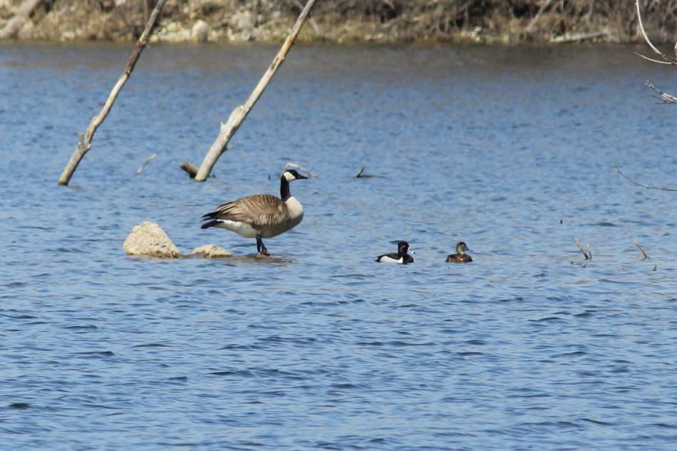 Canada goose and ring-necked ducks