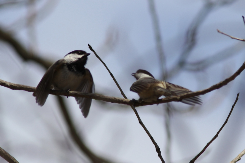 Black-capped chickadee mating dance