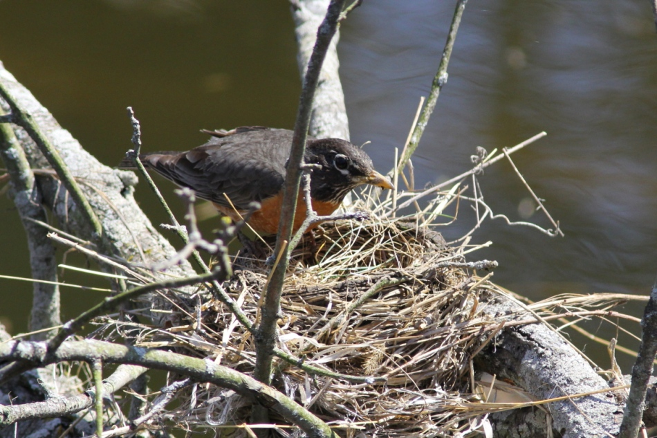 American robin building a nest