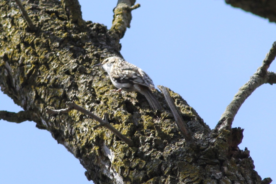 Brown creeper singing