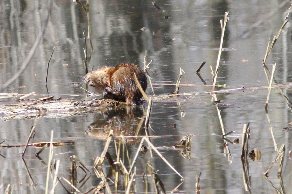 Muskrat drying itself