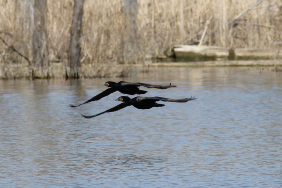 Double-crested cormorants in synchronized flight