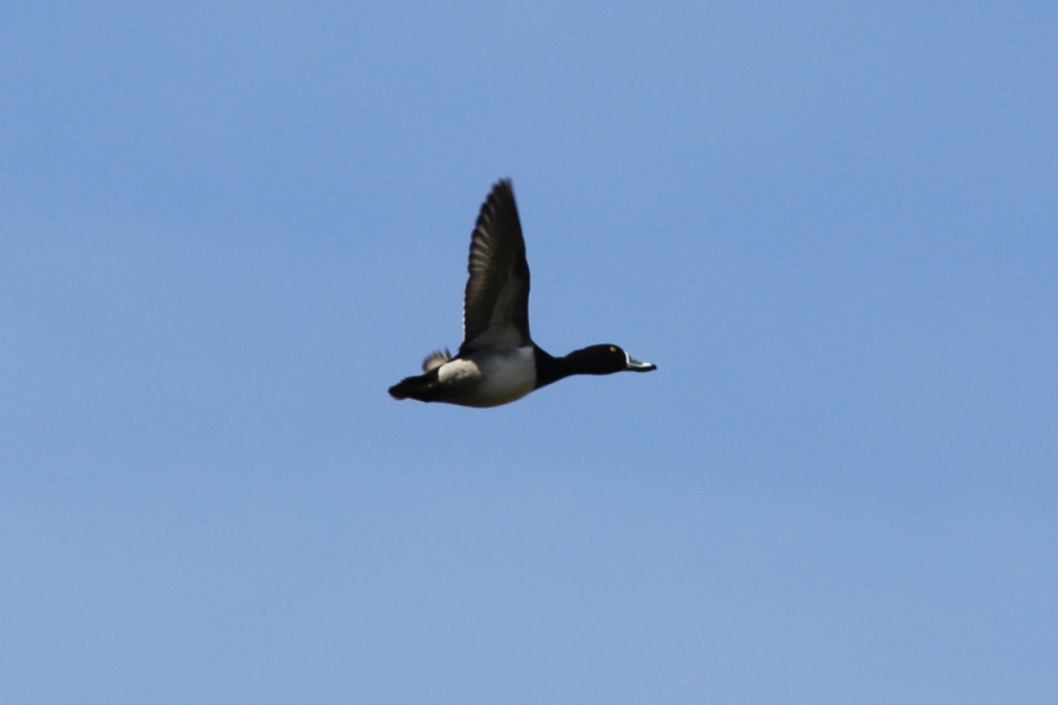 Ring-necked duck in flight