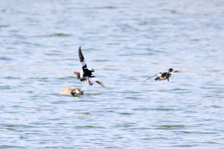 Bufflehead duck dive bombing a goose