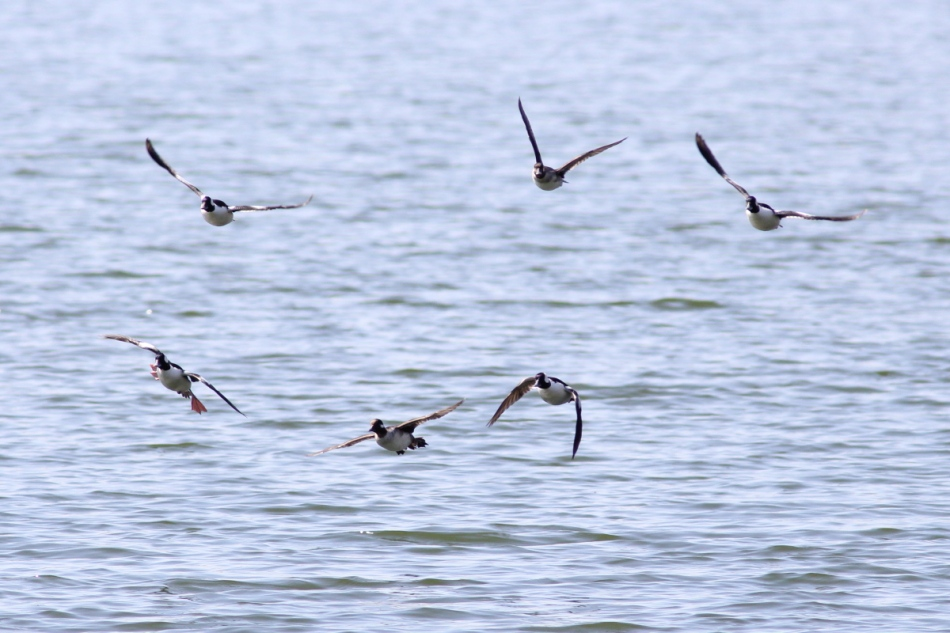 Bufflehead ducks in flight
