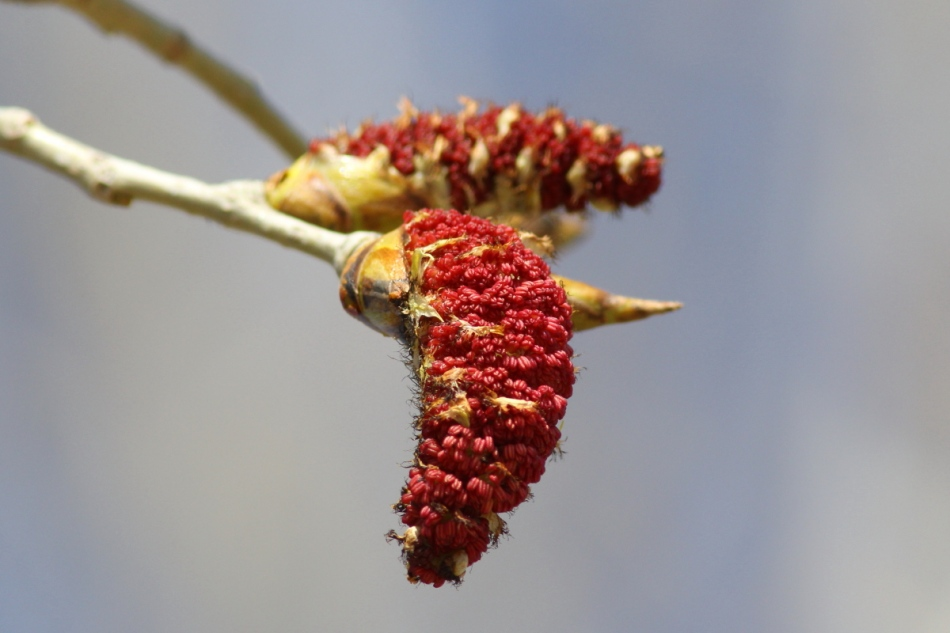 Cottonwood tree catkin
