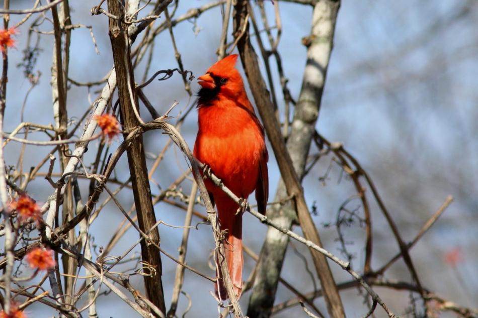 Male cardinal singing