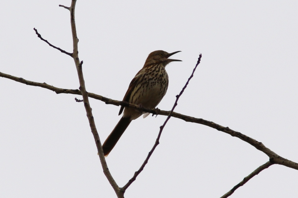 Male brown thrasher singing