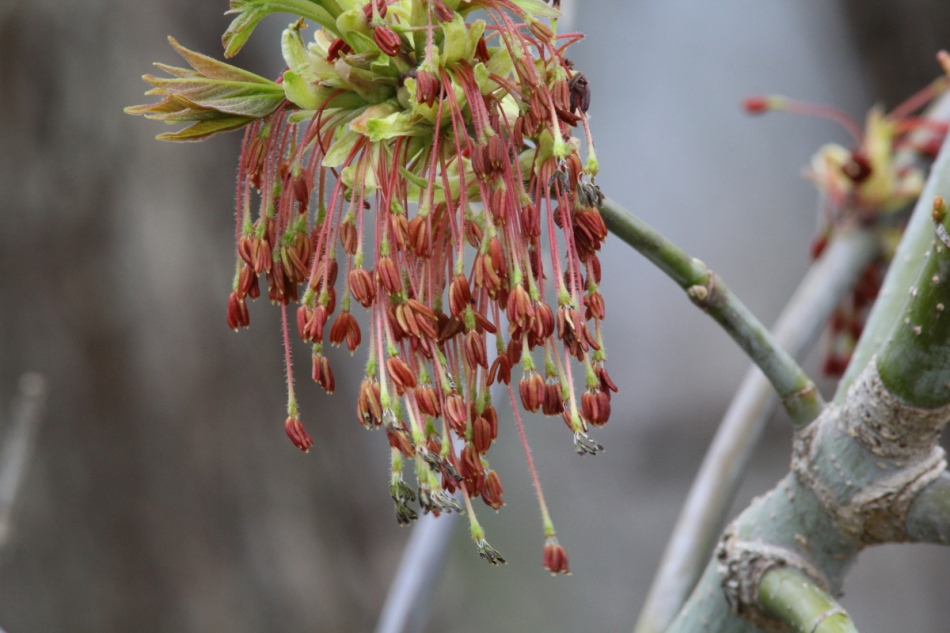 Box elder tree flowers
