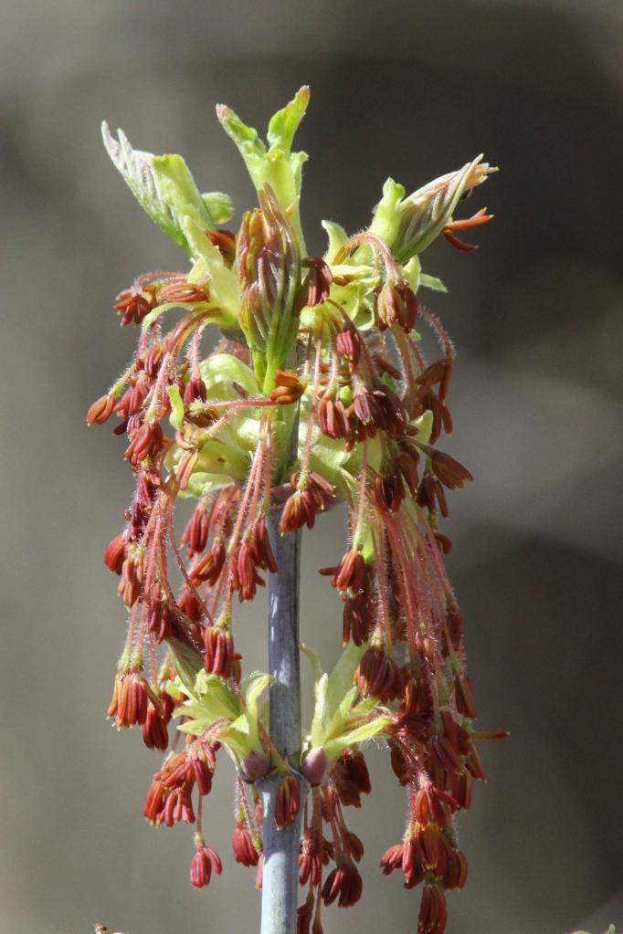 Box elder tree blooms cascading down