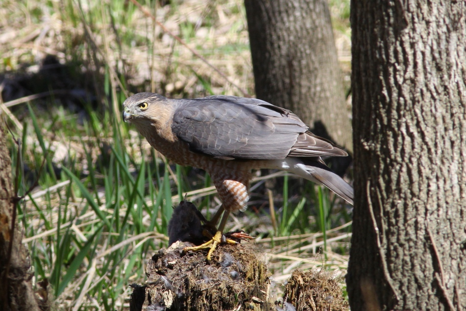 Cooper's hawk with lunch